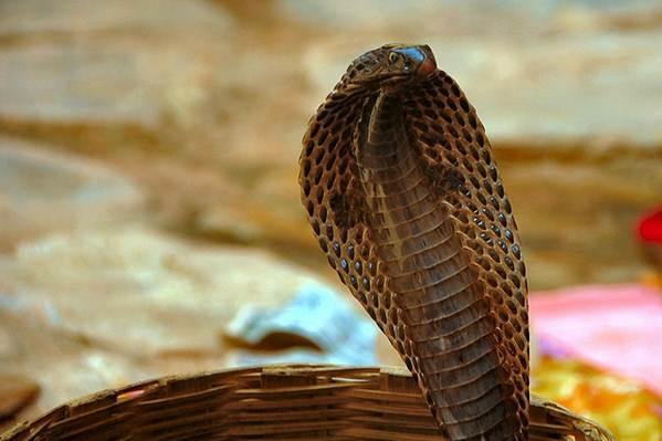 A naja é a cobra preferida dos encantodores e criadores