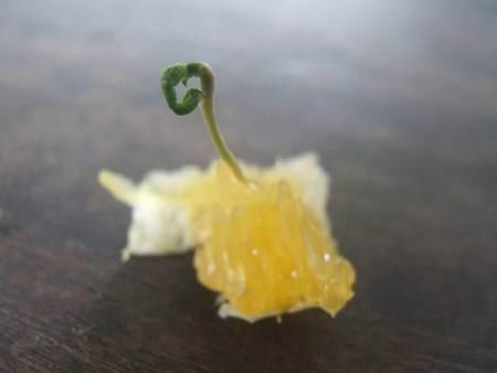 Germinação de uma semente de laranja