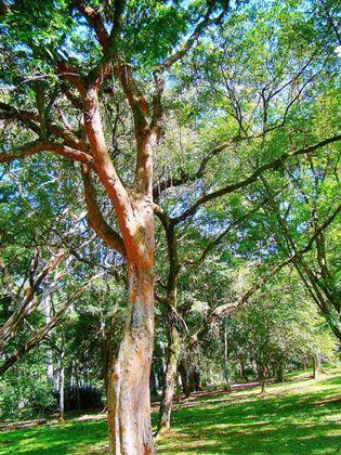 Àrvore pau-brasil