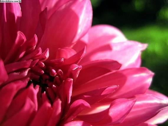 Dália rosa